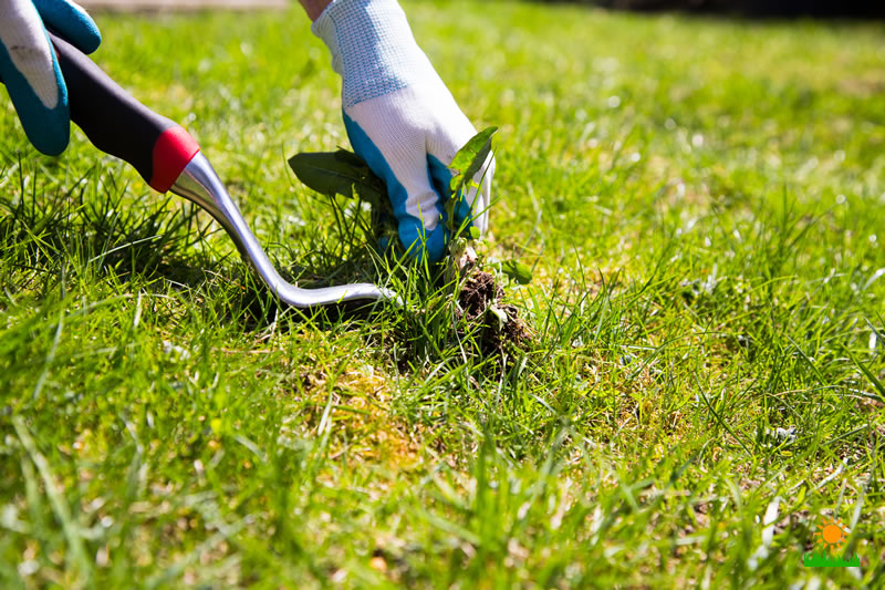 Manual Weed Control during Lawn Care
