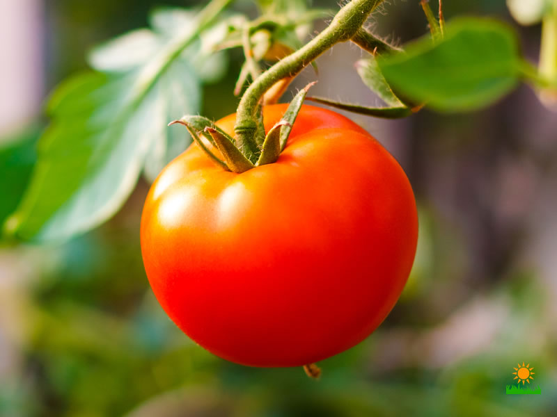 growing red tomatoes in home garden